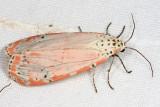 8105 - Ornate Moth - Utetheisa ornatrix