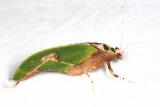 Leaf Mimic Katydid - Pycnopalpa bicordata