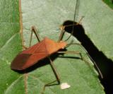 Hypselonotus sp.?