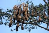 Montezuma Oropendola - Psarocolius montezuma (nests)