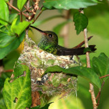 Rufous-tailed Hummingbird - Amazilia tzacatl (on its nest)