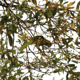 Olive-throated Parakeet - Aratinga nana