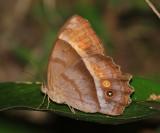 Common Ur-Satyr - Taygetis thamyra