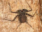 Tailless Whip Scorpion - Amblypygi