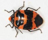 Honduras Pentatomoidea