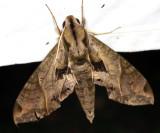 7858 - Satellite Sphinx - Eumorpha satellitia