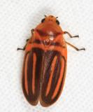Honduras Cercopidae (spittlebugs)