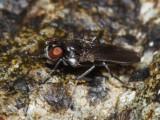 Ephydridae