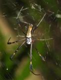 Golden Silk Orb Weaver - Nephila clavipes