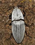 Chalcolepidius rugatus
