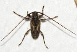 Carphina arcifera