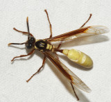 Apoica pallens