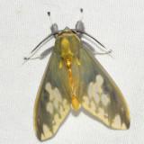 Castrica phalaenoides