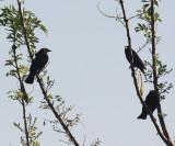 Giant Cowbirds - Molothrus oryzivorus