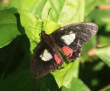 Transandean Cattleheart - Parides iphidamas