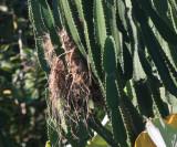 Great Kiskadee - Pitangus sulphuratus (nest)