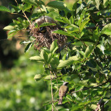 Social Flycatchers - Myiozetetes similis (at nest)