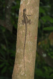 Striped Basilisk Lizard - Basiliscus vittatus