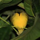 Kentucky Warbler - Oporornis formosus?