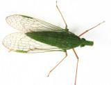 Honduras Fulgoroidea (planthoppers)