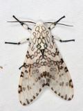 Giant Leopard Moth - Hypercompe scribonia