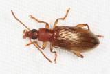 Lagriinae - Statira sp.