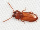 Tenebrionidae - Adelina sp.