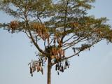 Montezuma Oropendola nest tree