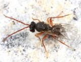 Aulacidea sp. (annulata or tumida)