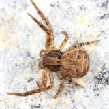 Xysticus ferox (immature male)