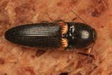 Ampedus semicinctus