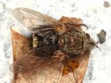 Epalpus signifer