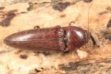 Melanotus communis-complex (female)