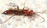 Centeterus sp.