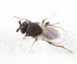 Trachyopella sp.