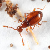 Ant-like Stone Beetles - Scydmaeninae