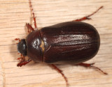 Phyllophaga anxia