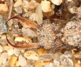 Myrmeleon immaculatus (larva)