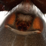 Zelotes hentzi (epigynum)