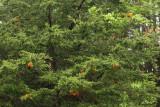 Gymnosporangium juniperi-virginiae (Cedar Apple Rust)