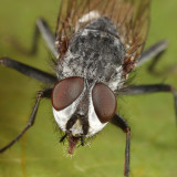 Leucophora sp.