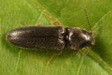 Limonius quercinus