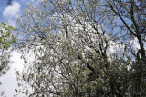 Poplars with cottony catkins