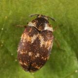 Anthrenus fuscus