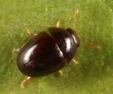 Acylomus ergoti