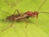Proctotrupes pallidus (male)