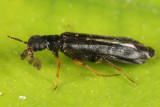 Ship-timber Beetles - Lymexylidae
