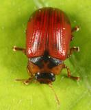 American Aspen Beetle - Gonioctena americana