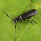 Cantharis tuberculata