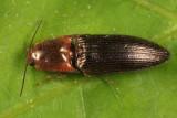 Sericus viridanus